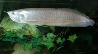 TROPICAL FISH SILVER AROWANA 14-15 CM