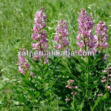 Powdered Black Cohosh Extract supplier
