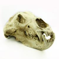 Wholesale Halloween Decorative and Medical Supplies Animal Skull Model Bone Color G015 bear skull