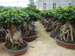 4000 gram Ginseng Ficus Microcarpa