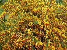 Pure nature 98% Genistein powder Genista Extract