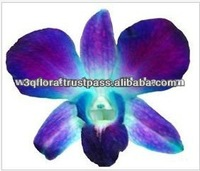 D-014 : DENDROBIUM DYED BLUE ORCHID