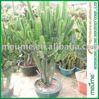 Outdoor Tropical Cactus and Succulent Plants Euphorbia Cactus