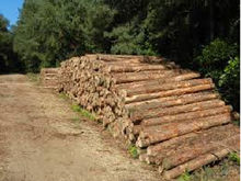 Pine and spruce logs
