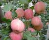Chinese Fruit Red Fuji Apple