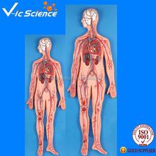 Modelo del sistema circulatorio, humano la circulación sanguínea modelo modelo
