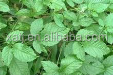 gynostemma leaf extract jiaogulan with great stock