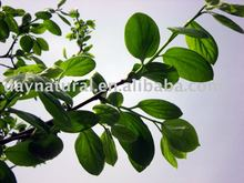 Persimmon leaf Extract--Ratio Extract Powder/ Plant extract