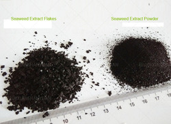 100% Natrual Seaweed Extract powder, 100% pure soluble seaweed extract powder