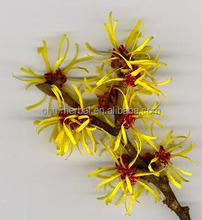High Quality Pure Natural Witch Hazel Extract Powder