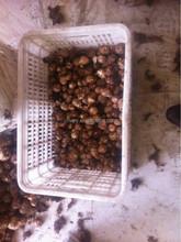 2015 china fesh taro for export