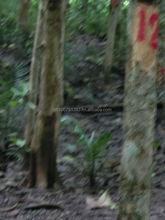 Teak tree plantation