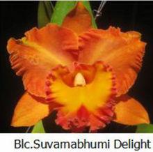 Cattaleya Orchid Blc Suvamabhumi Delight.png