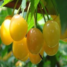 2015Wholesale cherry chewing gum import goji berries