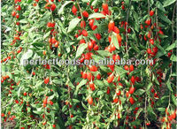 Health food high quality Chinese dried goji berry supplier