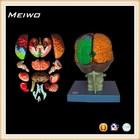 Model of brain 15 parts used medical manikins