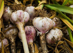 2015 natural fresh garlic manufacturer from China