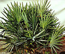 High quality saw palmetto extract,fatty acid