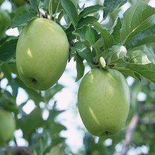 100% natural green apple juice