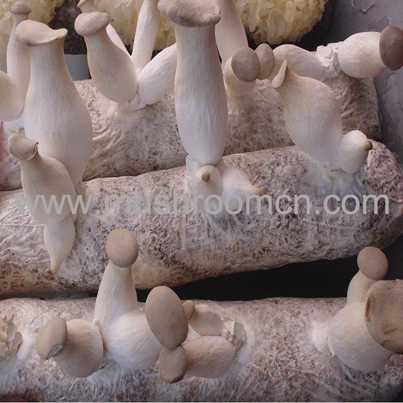 2014 high yileld king oyster eryngii mushroom logs