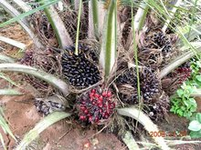 Palm Oil And Nuts For Sale