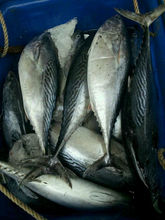 Hot selling frozen best bonito fish with competitive price