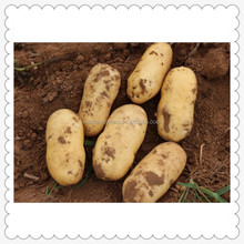 China Export dulce fresco de la patata