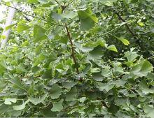 Gingko tree extract, Gingko tree USP32