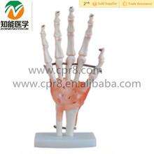 等身大の手と靭帯の解剖学的モデル