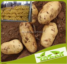 Fresh sweet potato on sale