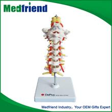Mfm008 personalizado de alta qualidade barato do modelo de Occipital coluna e nervos espinhais