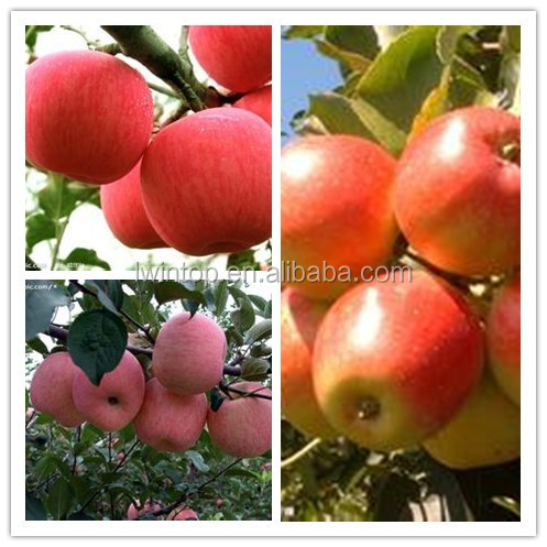 yantai apple fruit are selling fast now from big factory