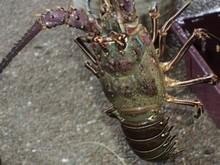 Green lobster/Senegal lobster/Royal spiny lobster/Palinarus Regius