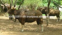 la carne buffalw