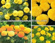 Hybrid F1 Orange/Yellow/Golden Marigolds Flowers Seeds For Cultivating