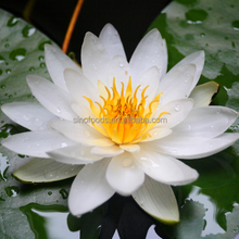 wan lian plant seeds Water Lily seeds