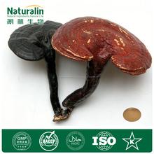 Ganoderma lucidum extracto / Ganoderma Extracto