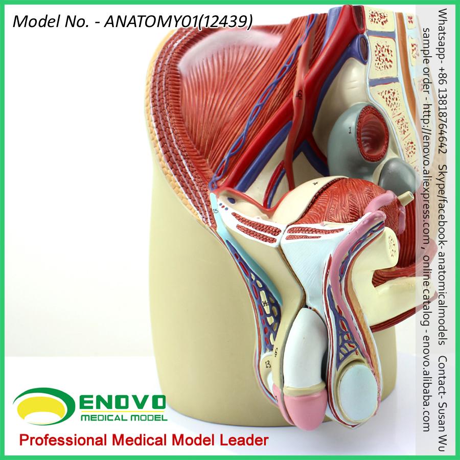 Venta 12439 tamaño natural masculina sección modelo anatómico 4 ...