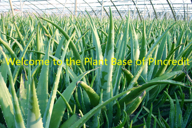 Pure Aloe Vera/Aloe Vera Powder/Organic Aloe Vera Powder