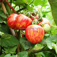 20Pcs/Bag Fruits Vegetables Potted Plants Flower Ball Tomato Seeds Red Tomato Exotic Seed Green Garden