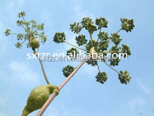Hot sale Angelica extract/Dong Quai Extract/Ligustilide 1.5%/Anti-oxidation plant extract