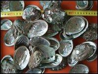 latest abalone shell price