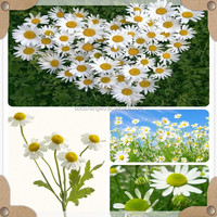 natural chamomil extract/chamomile flowers extract/chamomile extract 10:1