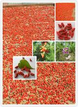 Ningxia goji bacche essiccate 100% organico della bacca di goji, wolfberry cinese ingrosso, bacca di goji