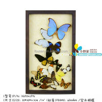 "FOUSEN(042) Nature & Art 23"" (Background) Large real butterfly upscale home decoration"