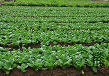 Выращивание капусты пак чой в открытом грунте 70