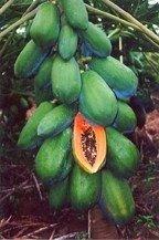 Papaya Maradol semillas