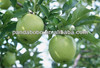 High quality fresh apple chinese apple fruit gala apple with cheap price