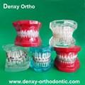 Ortodoncia productos alta calidad de plástico dientes dentales modelos / modelo de estudio