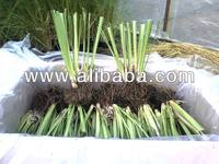VETIVER Plants-Grass (Chrysopogon zizanioides) 2-4 Slips Each Plant - Developed Roots - 30cm Tall - Certificated Nursey